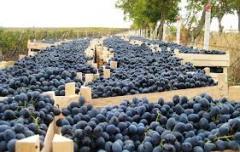 Виноград на экспорт
