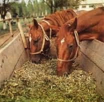 Stern for horses