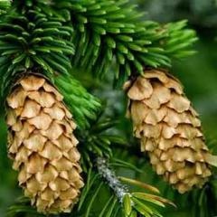 Essential oil of fir-tree