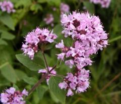 Essential oil of a marjoram