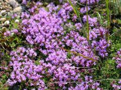 Essential oil of a thyme