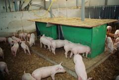 Pigs topless 20-petren
