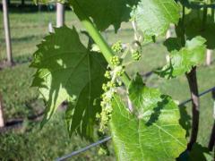 ROWINE: Направляющие столбики для винограда (TTR)