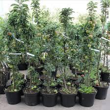 Apricot saplings