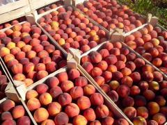Яблоки Дискавери Слава Бобедителям. Персики