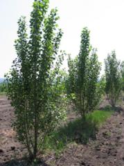 Poplar hybrid Fastigiata
