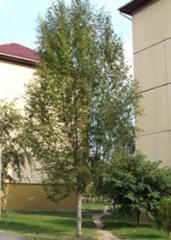 Тополь Симона  Fastigiata
