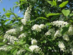 Bird cherry saplings