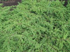 "Common juniper ""Repanda"