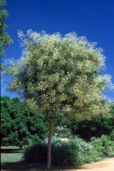 Chinese scholar's tree