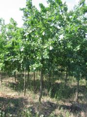 English oak, qualitative products