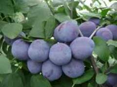 Плоды сливы Чентенар