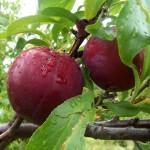 Plum dried unpitted (Prunus domestica)