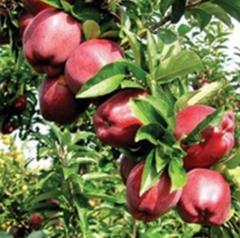Puieti, altoiuri si poltaltoiuri  fructiferi din