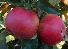 Яблоки Florina