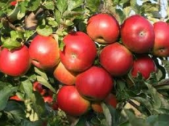 Idared apples