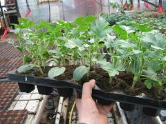 Răsad de legume altoite