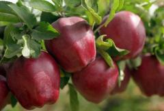 Apples Starkrimson