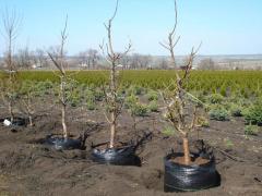 Cherry saplings