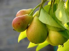 Pears, wholesale, excellent prices