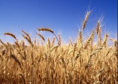 Пшеница многолетняя