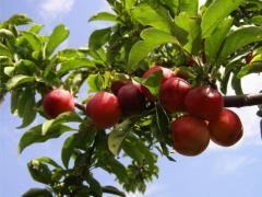 Apples microcarpous
