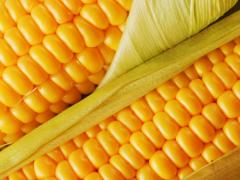 Кукуруза обыкновенная