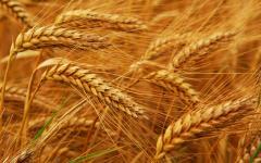 Wheat fodder 1 class