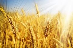 Пшеница, Кукуруза