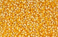Кукуруза, Пшеница
