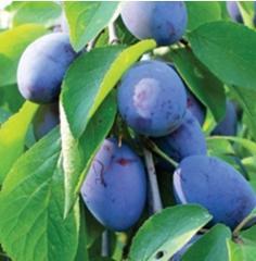 Puieti de pomi fructiferi prune