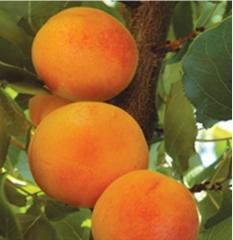 Puieti de pomi fructiferi caise