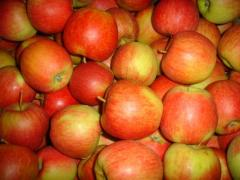 Apples for export from the manufacturer