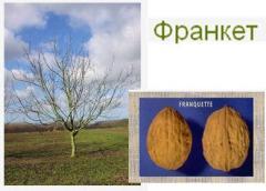 Саженцы грецкого ореха. Сорт Franquette