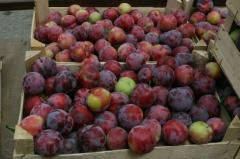 Plums grade the Kabardian early