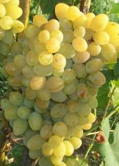 Grapes grade Prezentabil