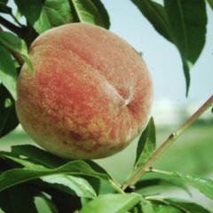 Персики сорт Redhaven урожай 2015 года