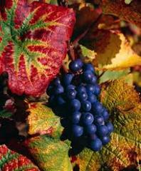 Сорт винограда Пино нуар Pinot Noir виноград