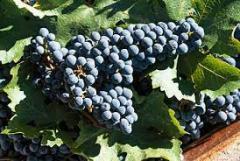 Cabernet grapes grade Cabernet Sauvignon Sauvignon