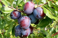 Фрукты свежие - яблоки, виноград, слива, персики,
