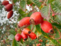 Плоды шиповника  и боярышника  сушеные(selling