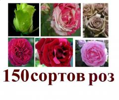 Saplings of roses in Moldova