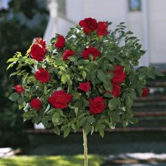 Розы штамбовые, 15 сортов