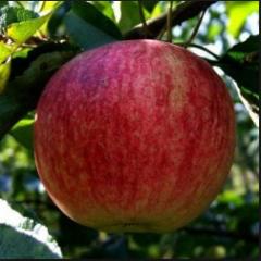 Apples summer grades