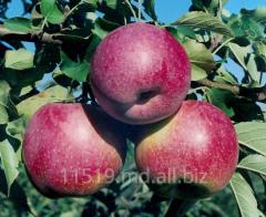 Apples Florin's grade