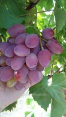 Саженцы винограда сорта Анюта