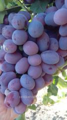 Саженцы винограда сорта Граф Монте Кристо