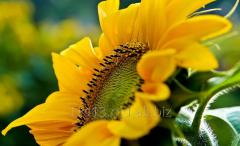 Sunflower seeds Gourmand, caliber 3,8; 3,6; 3,2