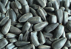 Sunflower seeds Candy, caliber 4,0