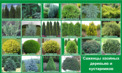Saplings of coniferous trees and bushes